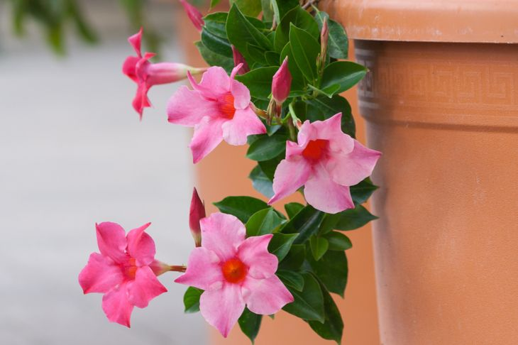some diseases can affect mandevilla