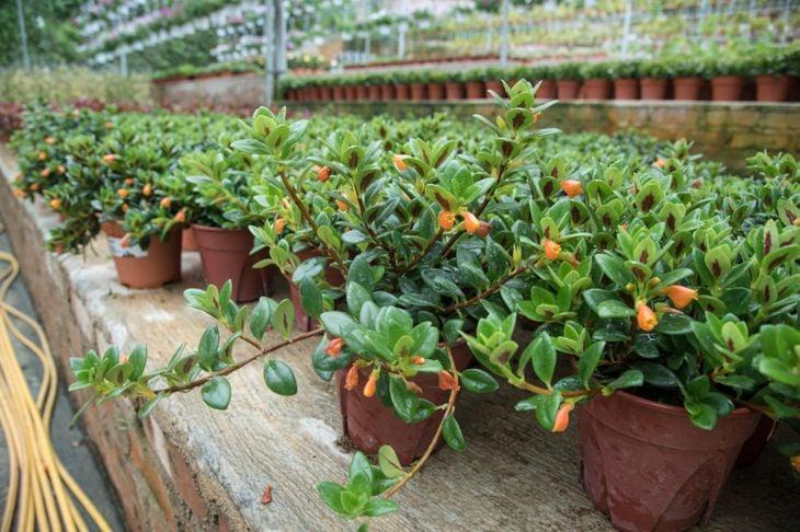 ensure goldfish plant has the right temperature