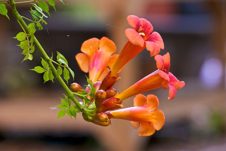 trumpet vine irritating