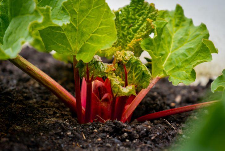 various types of rhubarb