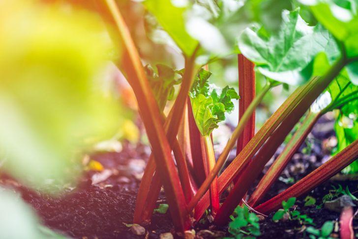 growing the best rhubarb
