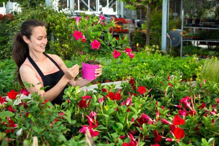 pruning will help mandevilla flourish