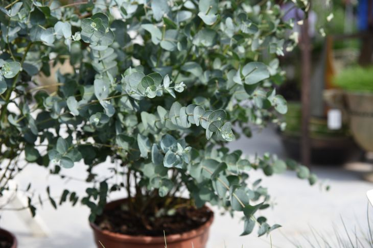 planting eucalyptus in a pot
