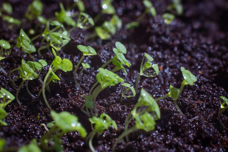 peppermint seedlings from seed
