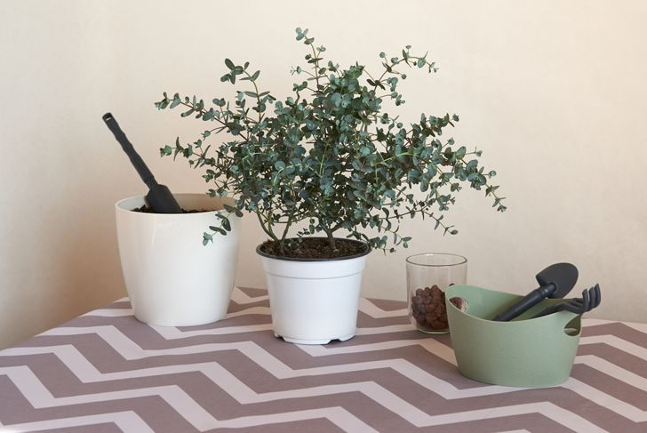 eucalyptus plant potted in soil