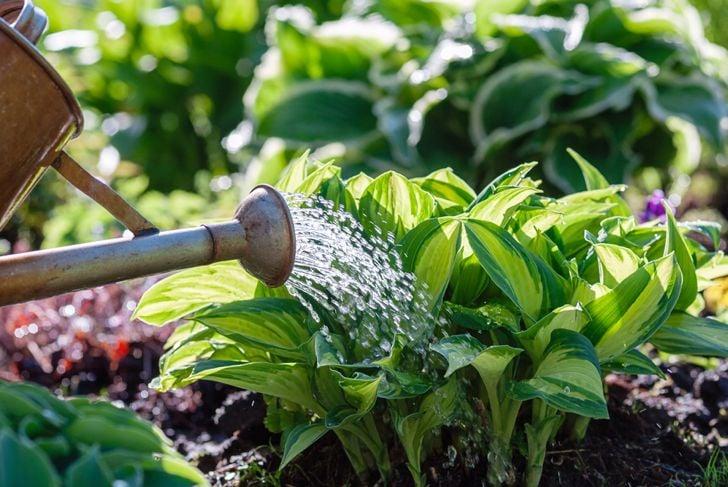 watering hosta plants