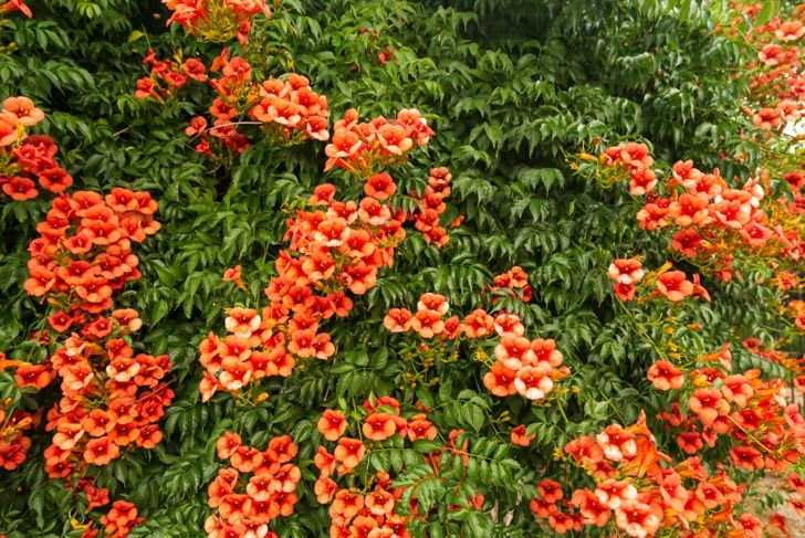 trumpet vines can take over the garden