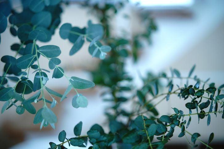 eucalyptus needs lots of sunlight