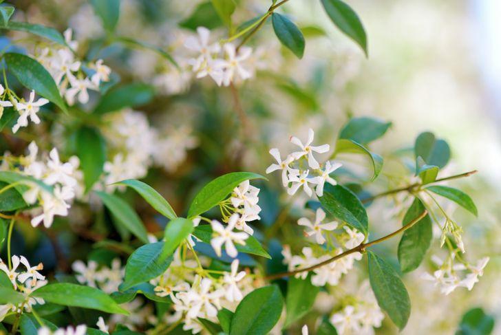 star jasmine any soil