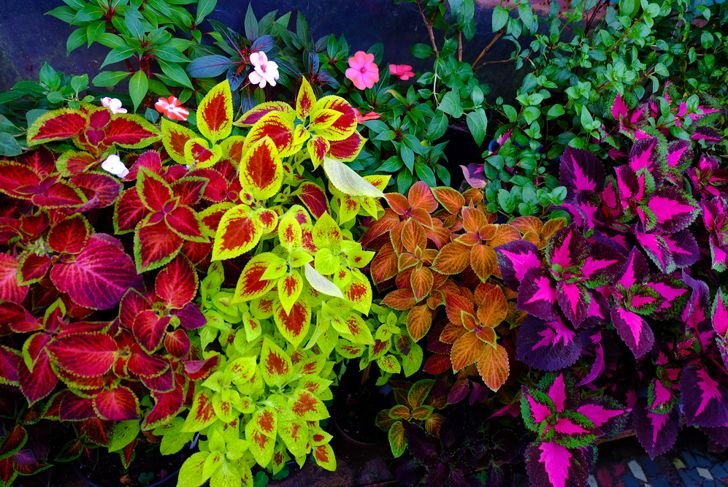 fungicides can get rid of coleus diseases