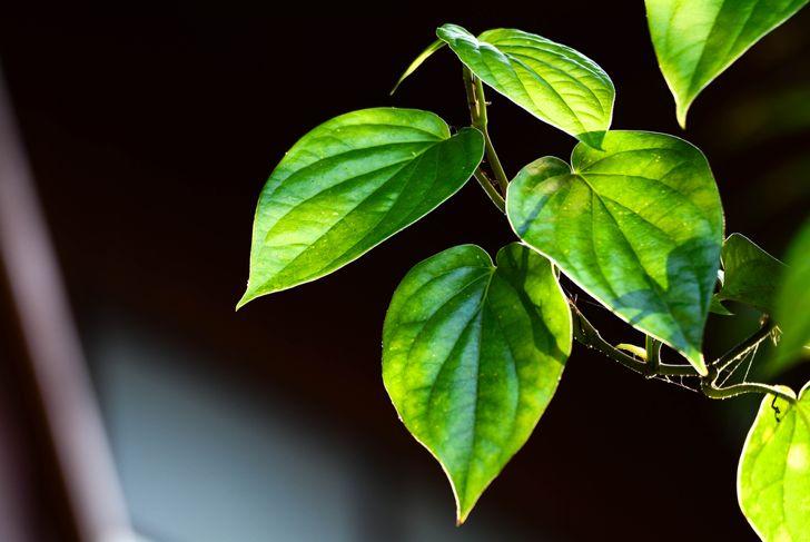 betel leaf vine plant