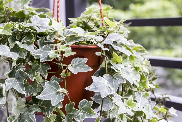 english ivy vine plant indoor