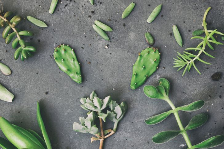 propagation succulent cuttings