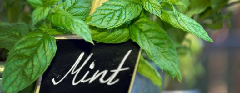 What to Consider When Growing Peppermint