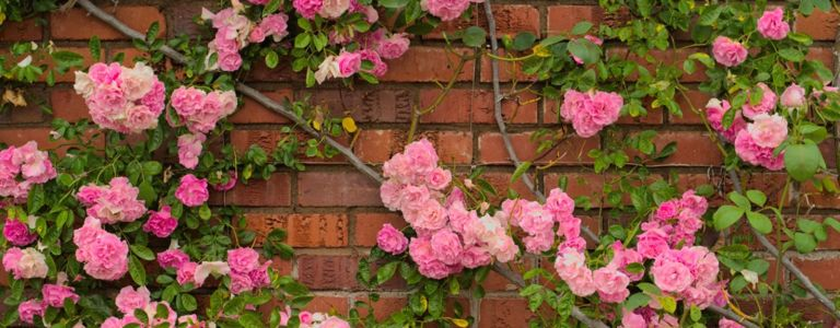 Growing the Whimsical Climbing Rose
