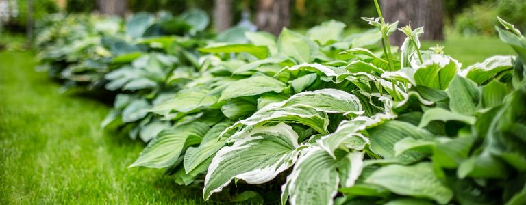 Growing the Hardy and Attractive Hosta