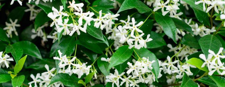Star Jasmine Can Make Your Garden Shine