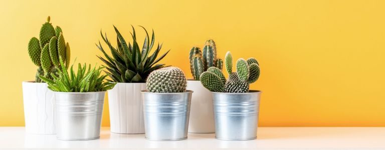 Easy-Care Cactus Plants for Your Home