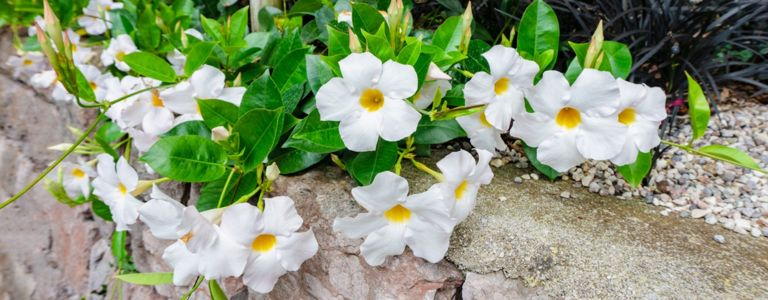 Mandevilla is an Easy-to-Grow Blooming Vine