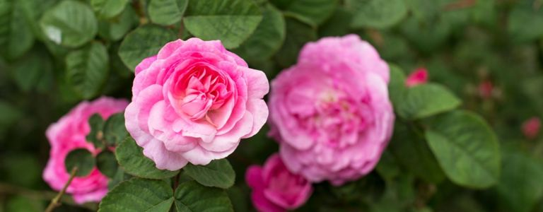 The Right Routine for Refined Roses