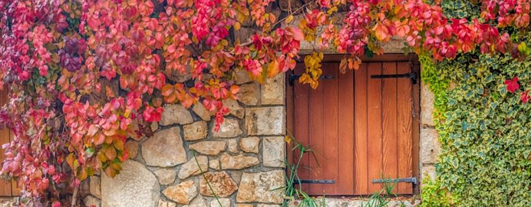 Fall in Love with Virginia Creeper's Autumn Foliage