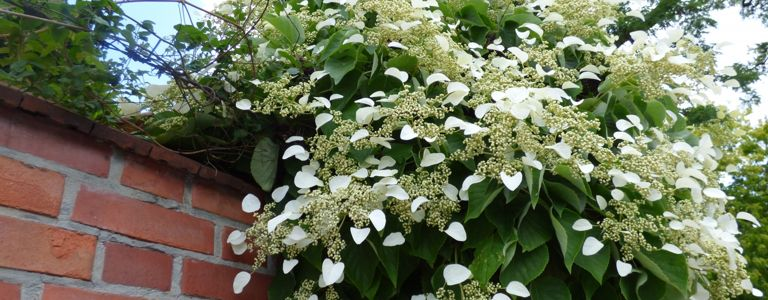 The Climbing Hydrangea: a Four-Season Beauty