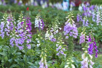 Bring Charm to Your Garden with Foxglove