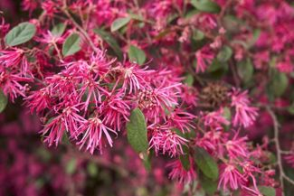 Loropetalum is An Easy-to-Grow Showstopper