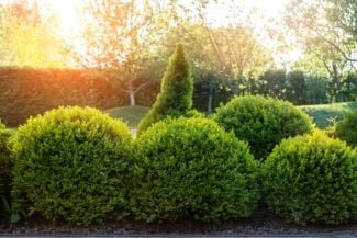 Adding Boxwood Shrubs to Your Garden