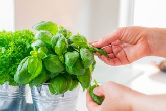 Growing Your Own Bountiful Basil Harvest
