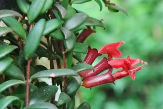 Brighten Up Your Home With a Lipstick Plant