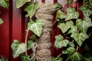 Adorn Your House and Yard With English Ivy