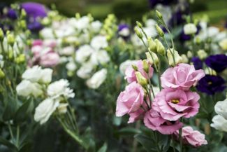 Your Care Guide for the Lisianthus
