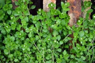 Chickweed is a Simple Plant With Tons of Healthy Benefits