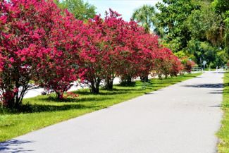 Growing and Caring for Crepe Myrtles