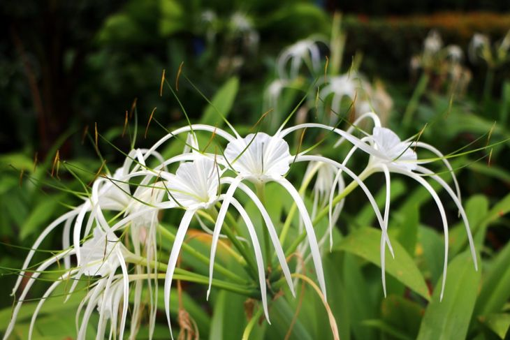full sun bountiful blooms hymenocallis