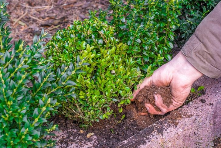 Planting a boxwood hedge