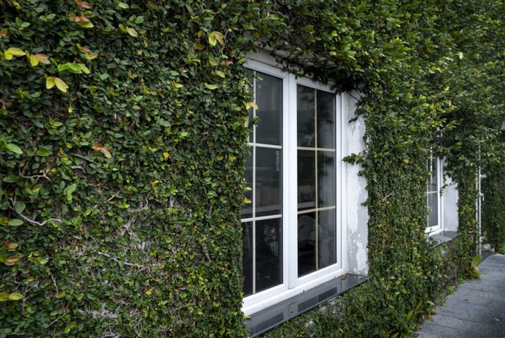 Wall covered in English ivy