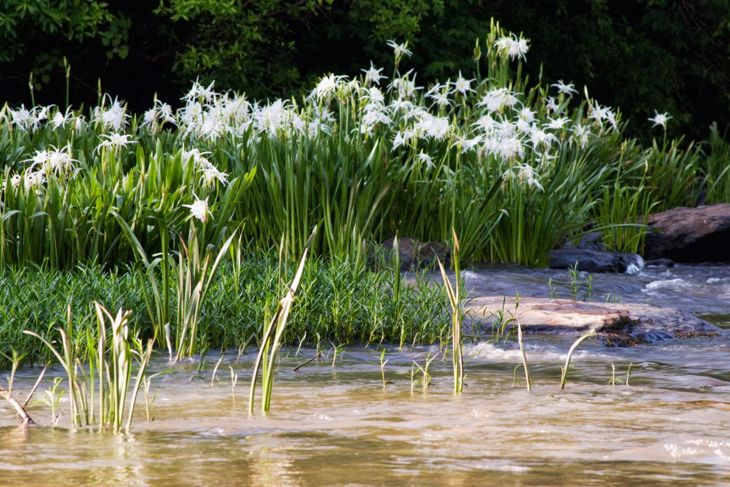 marshy environments garden white hymenocallis