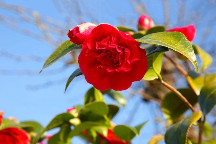 Camellia against blue sky