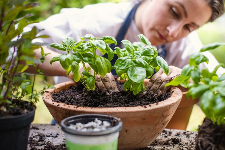 Woman planting basil in planter