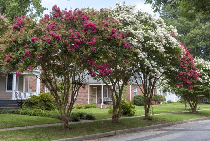 At about 10 feet in height and width, elegant crape myrtle needs warmth more than pruning.