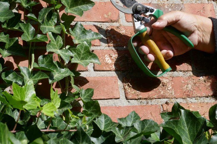 Pruning English ivy