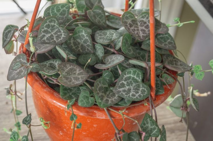 String of hearts in hanging basket