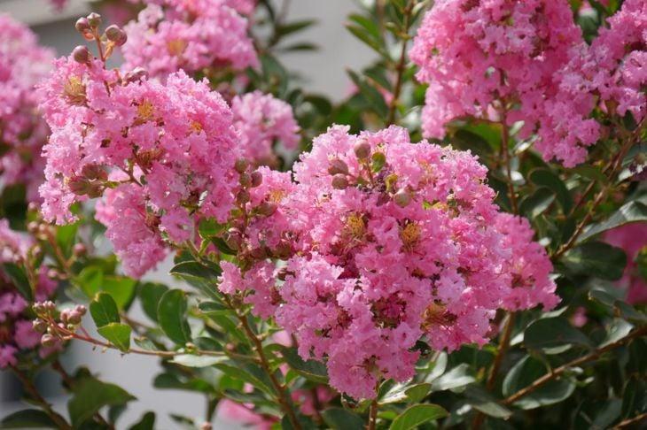Crepe myrtle flower clusters