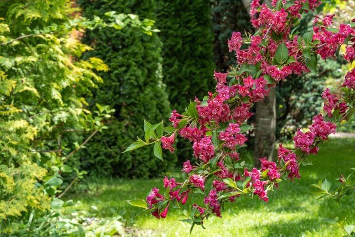 Weigela in a garden