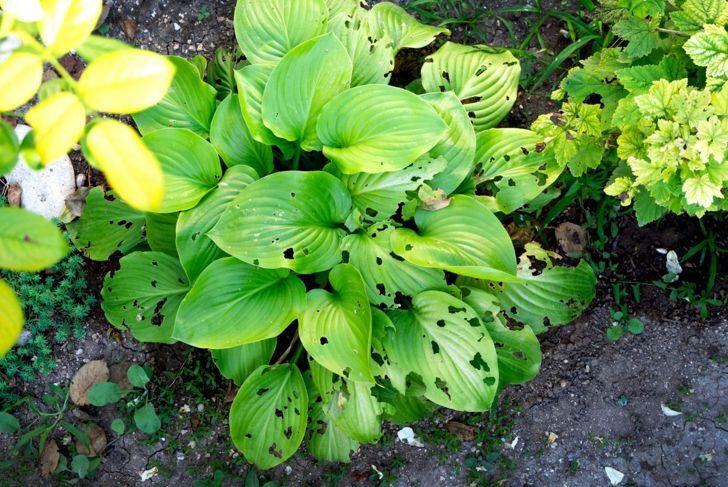 Slug damaged leaves