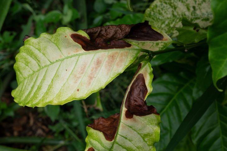 Anthracnose on leaf