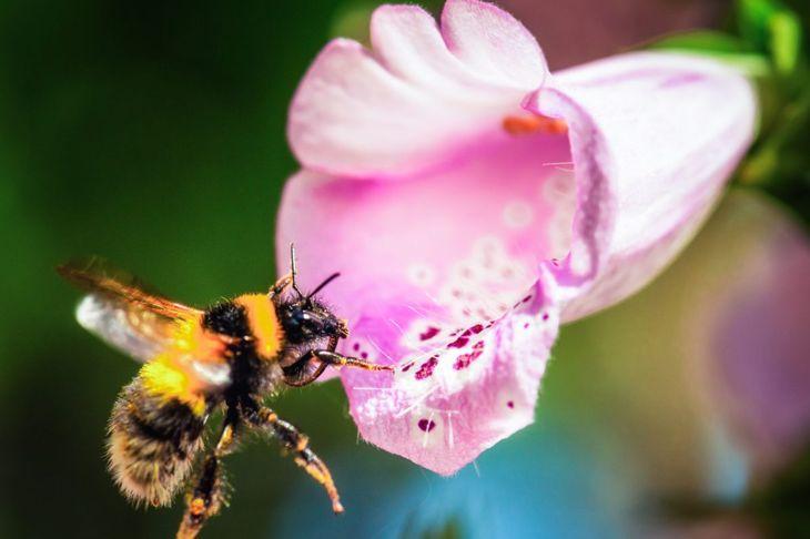 Bumblebee approaching a foxglove flower.