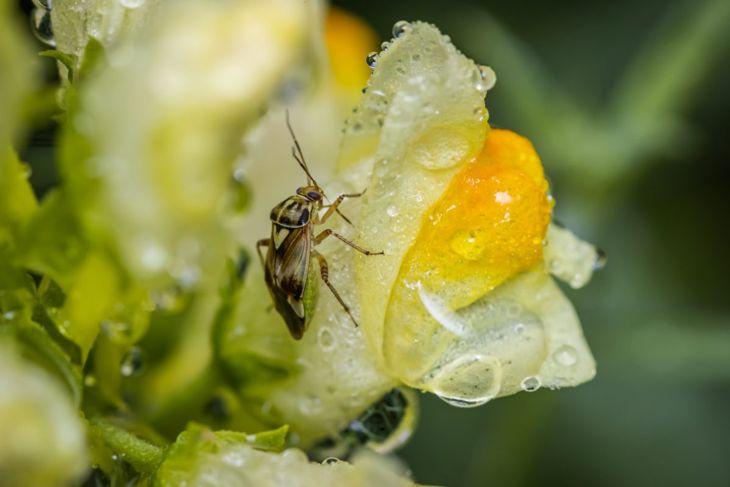 host thrips pests lygus bugs